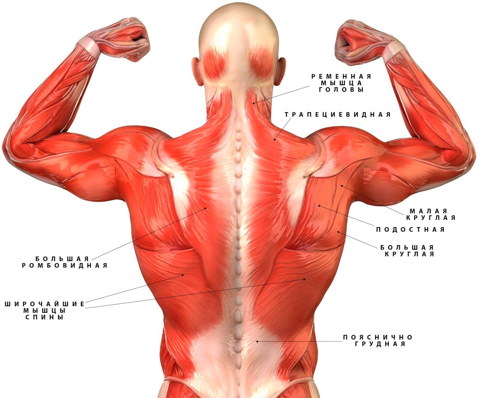 Анатомия скелетных мышц спины человека