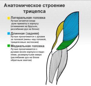 Анатомия мышц трицепса человека (латеральная, длинная, медиальная головка)