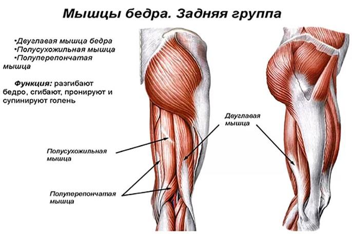 Анатомия мышц бедра (задняя группа)