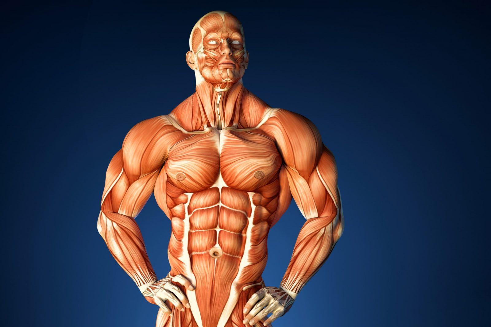 Мышцы туловища: названия и функции