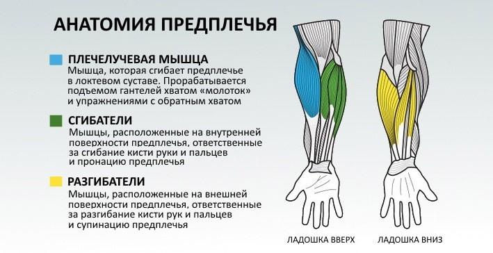 Анатомическое строение мышц предплечья