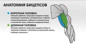 Анатомия бицепса человека