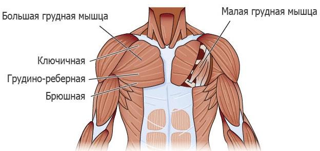 Строение грудных мышц человека