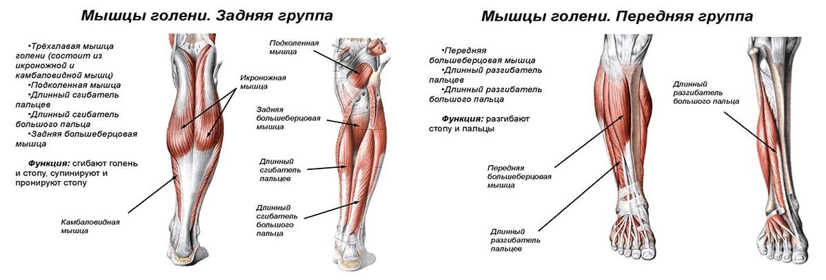 Строение мышц голени (передняя и задняя группа)