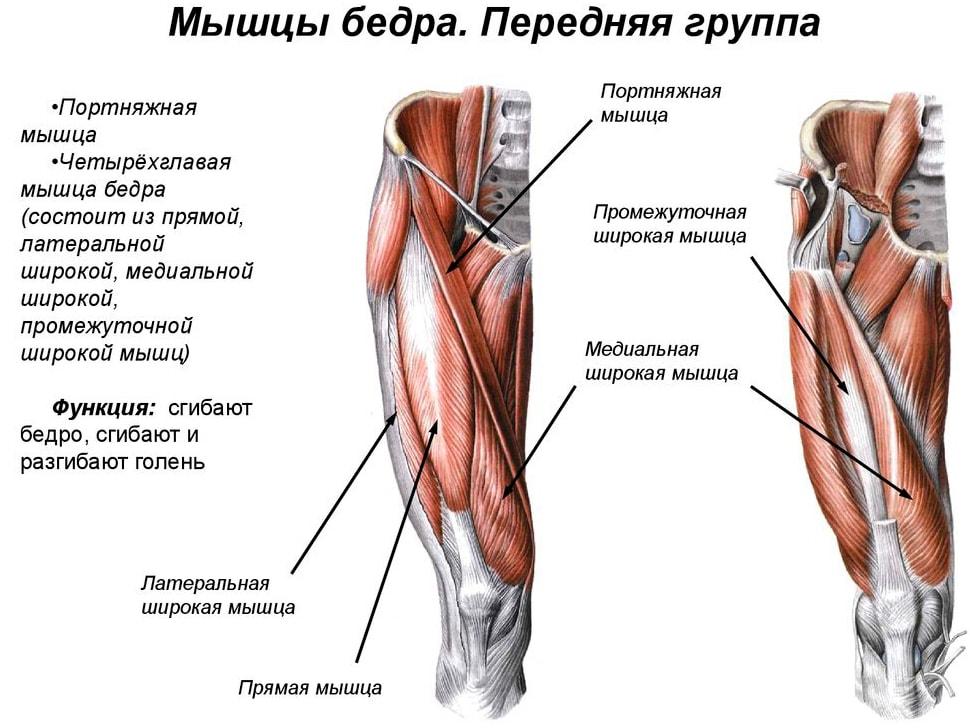 Анатомия мышц бедра (передняя группа)