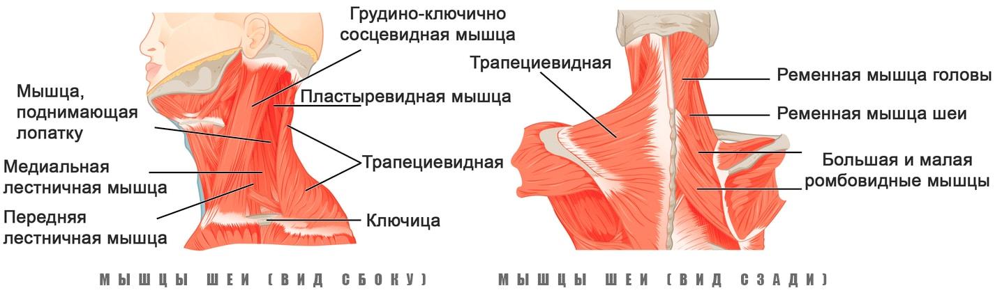 Анатомия мышц шеи человека