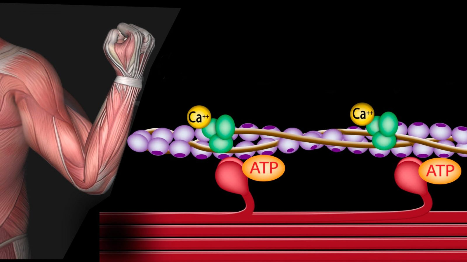Мышечное сокращение. Характеристика и механизм мышечного сокращения