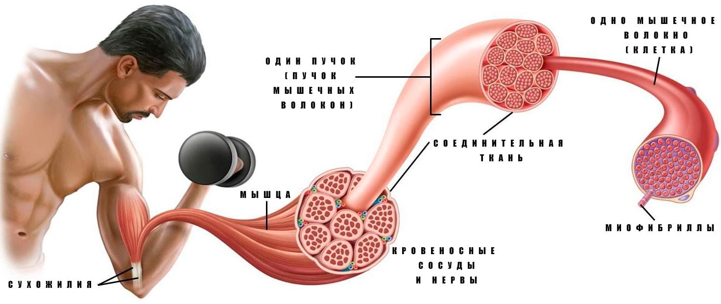 Физиология мышечного сокращения