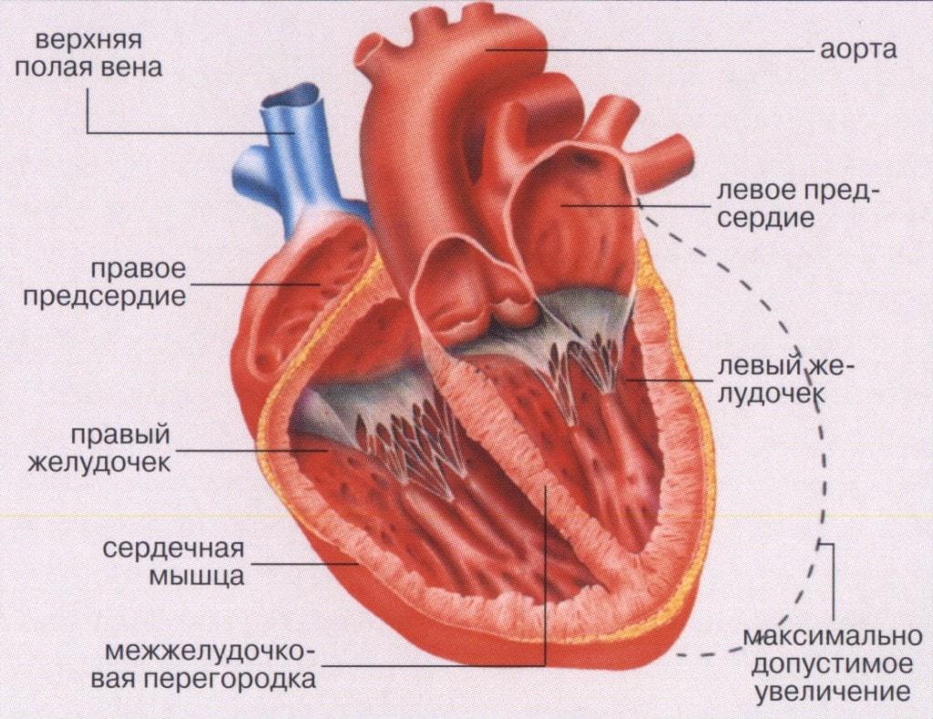 Состав сердечной мышцы человека (аорта, левый желудочек, левое предсердие, правое предсердие, правый желудочек, верхняя полая вена, межжелудочковая перегородка)