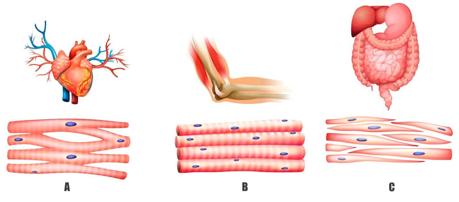 Типы мышечных волокон (сердце, скелетные и гладкие мышцы)