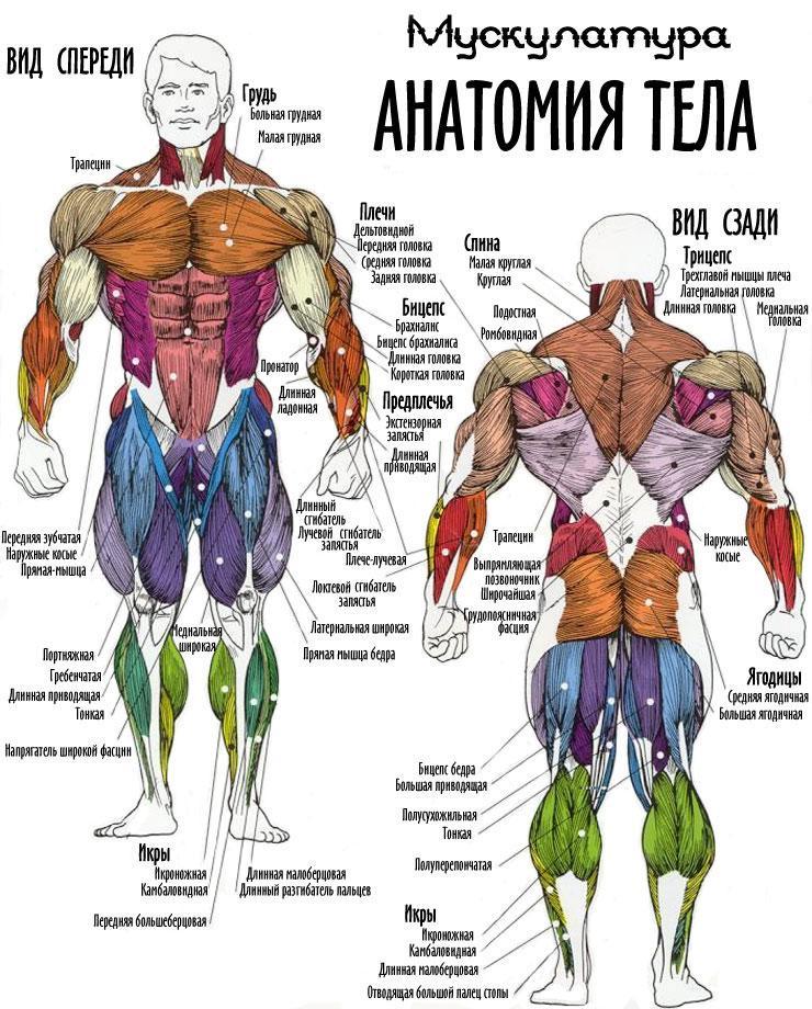Анатомический атлас мышц культуриста