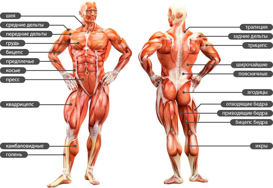 Анатомия мускулатуры тела человека