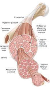 Строение мышцы человека (сухожилие и мышечная ткань)