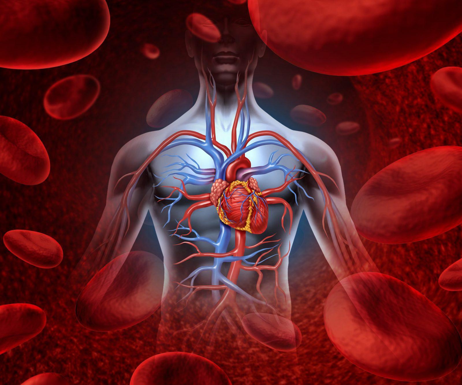 Человек и кровеносная система с сердечной мышцей