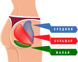 Большая, средняя и малая ягодичная мышца