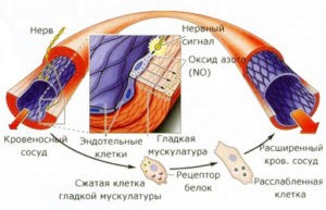 Действие оксида азота на кровеносные сосуды