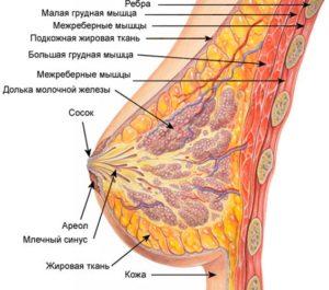 Женская грудь (молочная железа, жировая ткань и грудные мышцы)
