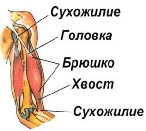 Сухожилие, головка, брюшко, хвост мышцы двуглавой