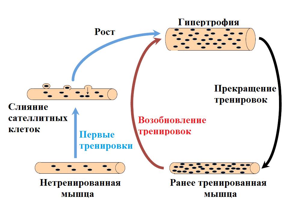 Схема работы мышечной памяти