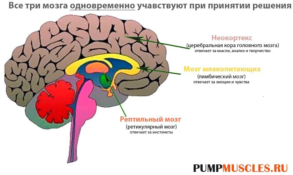 Этапы развития мозга человека