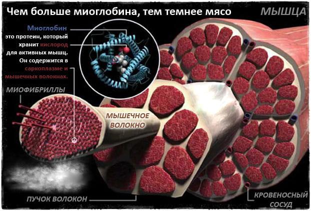 Медленно окислительные мышечные волокна