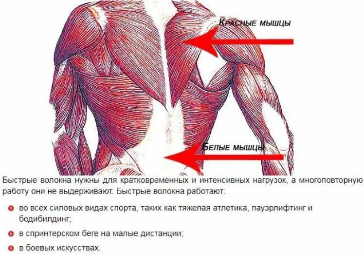Гликолитические (белые) мышечные волокна