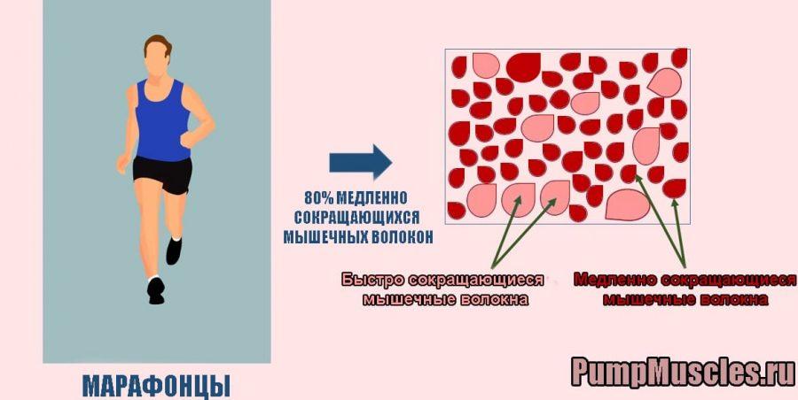 Марафонец: соотношение быстрых и медленно сокращающихся мышц