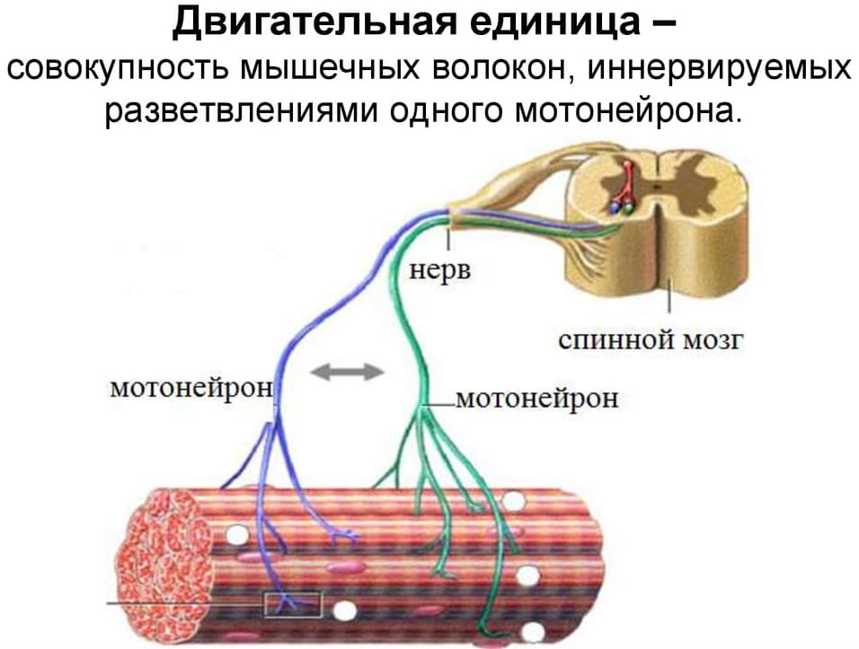 Мотонейрон, спиной мозг, нерв