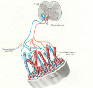 Мышечные волокна и двигательные единицы