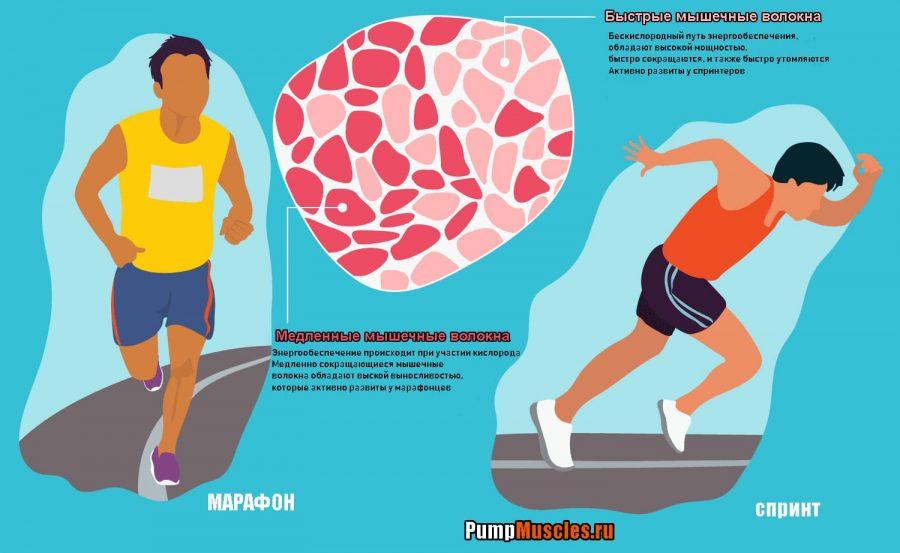 Виды (типы) мышечных волокон