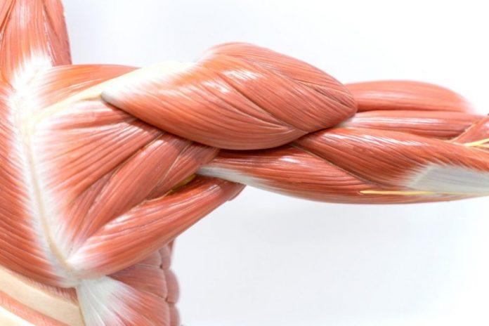 Типы (виды) мышечных волокон