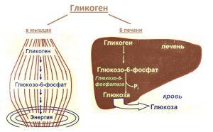 Гликоген в мышцах и печени