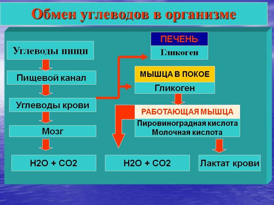 Обмен углеводов в организме