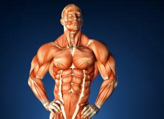 Анатомия мускулатуры человека (культуриста)