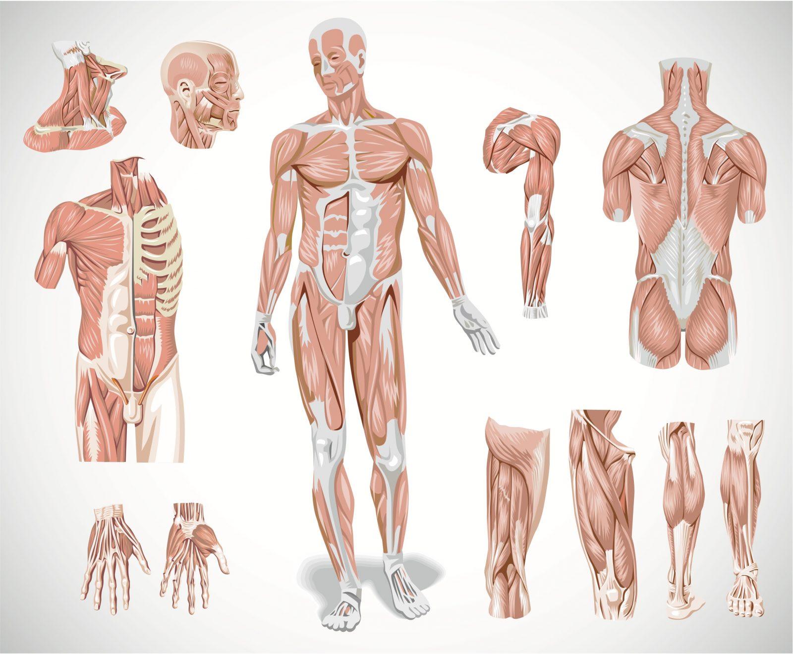 Все скелетные мышцы человека