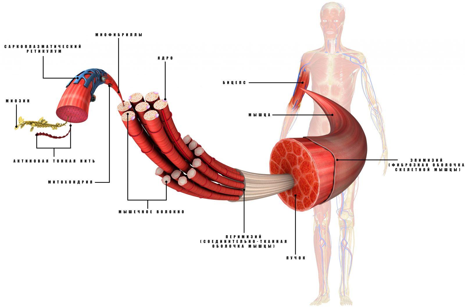 Анатомия (строение) мышцы человека
