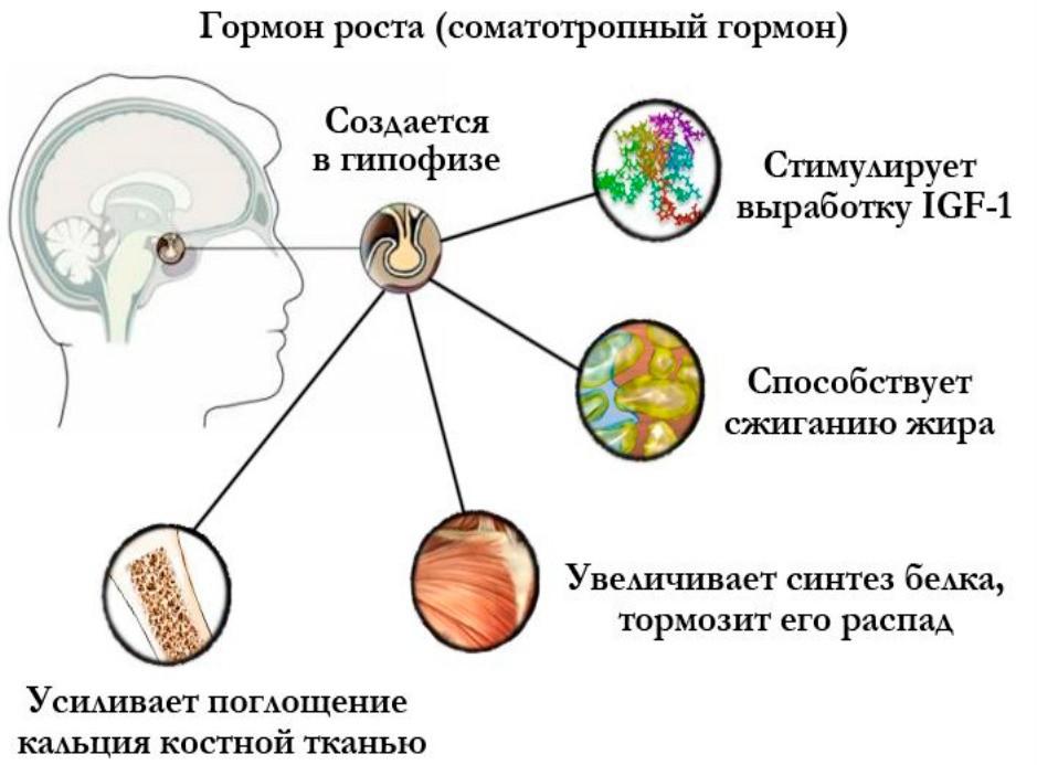 Гормон роста и гипофиз