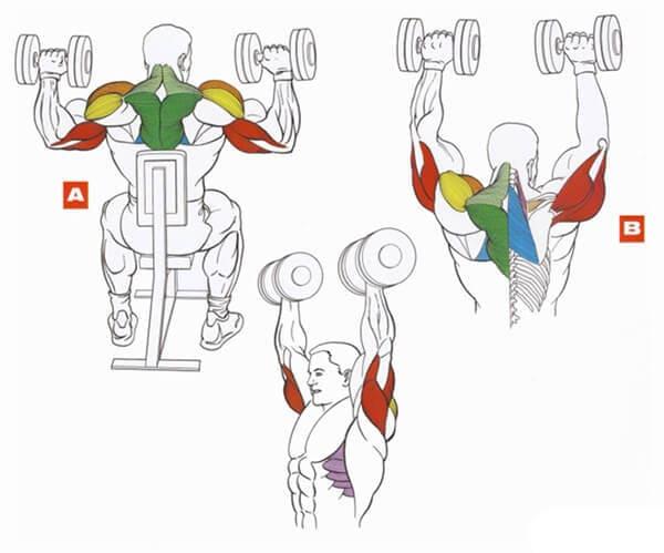 Техника выполнения упражнения на плечи (дельты):  жим гантелей сидя