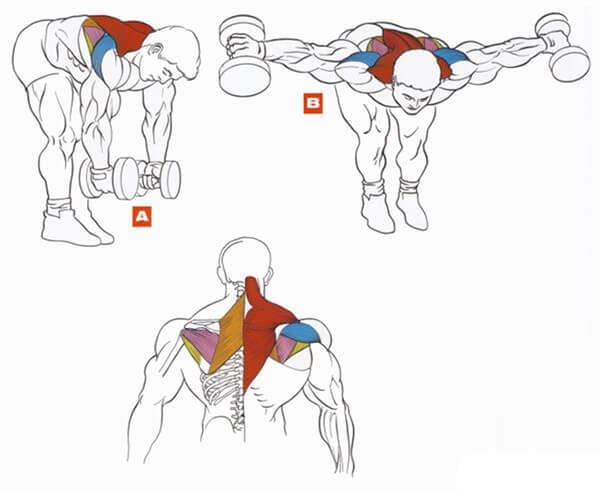 Техника выполнения упражнения на плечи (дельты): разведение гантелей в стороны стоя в наклоне