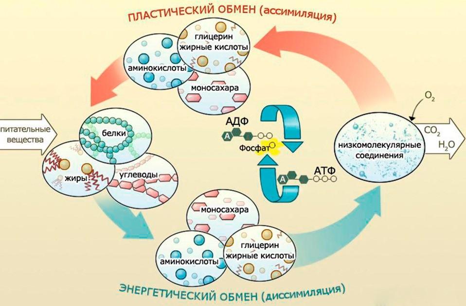 Обмен веществ (метаболизм) в организме